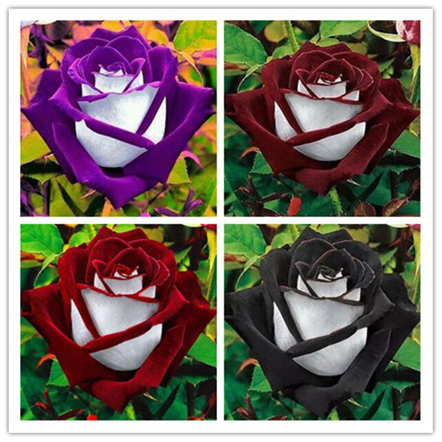 100 Seed Rose Seed Osilla Rose Blue Demon Girl Meteor Shower Red Edge Black Rose Seed Light Blue Rainbow Rose