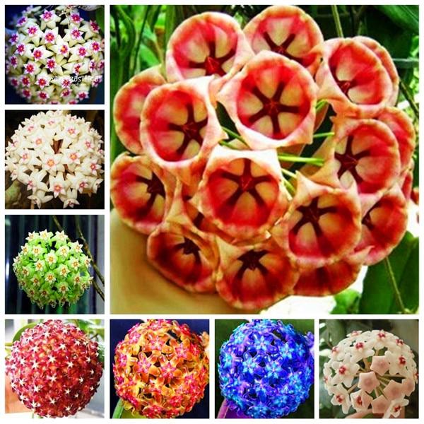 100 Particles/lot Time-Limit!!Hoya Flores,Potted Flowers Bonsai Plants Hoya Plantas, Orchid Plante DIY Home Garden