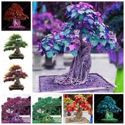 10 шт. импортное дерево Bodhi Religiosa горшечный сад Moraceae многолетний открытый священный инжир бонсай полувечнозеленый фикус завод