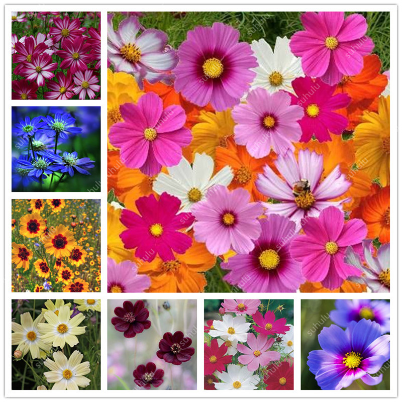 100 Pcs Rare Cosmos Bonsai Amazing Rainbow Coreopsis Flower Plant, Chrysanthemum Home Garden Flowers Beautiful Your Garden