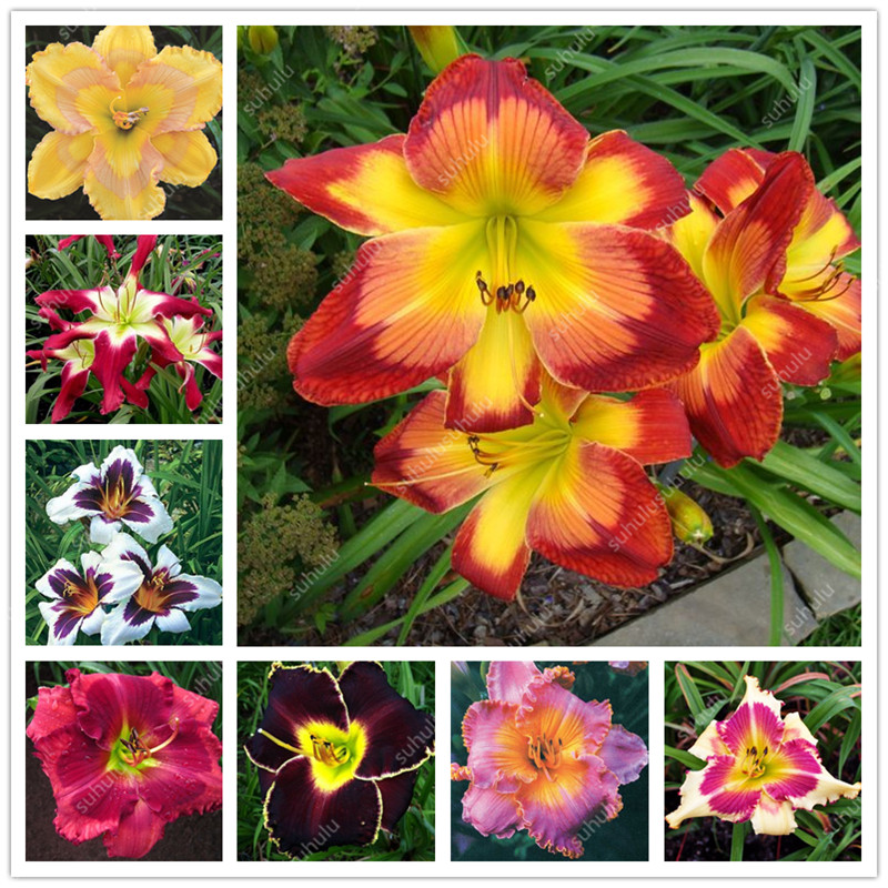 Big Promotion! 100 Pcs Hybrid Daylily Flowers Bonsai Hemerocallis Lily Indoor Bonsai Home Garden Supplies Decor Cheap Plant