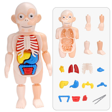 Kid 3D Puzzle Human Body Anatomy Model Educational Learning Organ Assembled Toy Body Organ Teaching Tool For Children