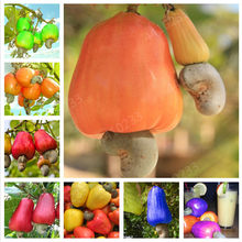 Hot sale!Garden Plant 5 PCS Cashew Tree Seeds, Anacardium Occidentale, Rare Tropical Plant Tree fruit Seeds Free Shipping(China)