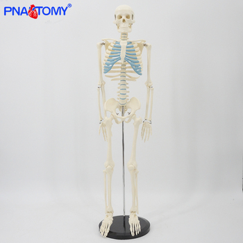 85cm skeleton model human anatomy skull spine ribs pelvis bone arms and legs foot and hand bone model with base medical tool 85cm skeleton model with nerves system medical teaching educational equipment skeleton anatomy human spine and skull anatomical