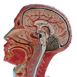 Image 4 - Sagittal Plane 1:1 Human Head Skeleton Neck Vessel nerve blood  brain human  Anatomical Half Head Face Anatomy anatomy model