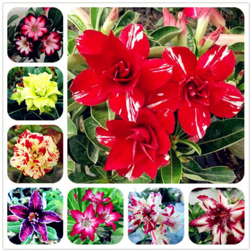 Free Shipping 5pcs Fresh Real Arabicum Socotranum Adenium Obesum - Desert Rose Flower SS