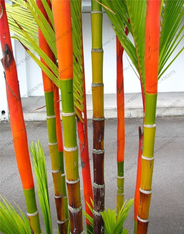 Giant Bamboo 20
