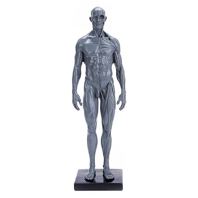 30 سنتيمتر الإنسان نموذج تشريحي التشريح الجمجمة رئيس العضلات العظام الفنان الطبي الرسم القزم المفصلية المعرضة
