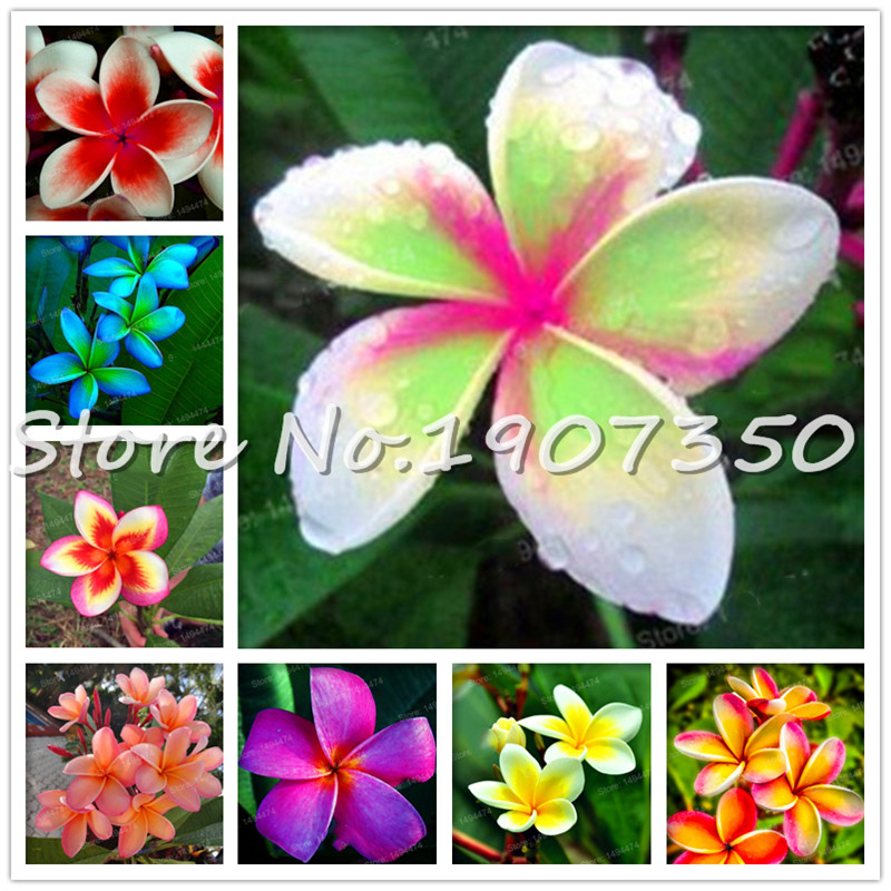 Sale! 100 Pcs/bag Plumeria Bonsai Frangipani Mixed Color Egg Flower Rubra Decor Romance Potted Plant DIY Home Pot Planting