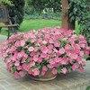 Garden Petunia A17