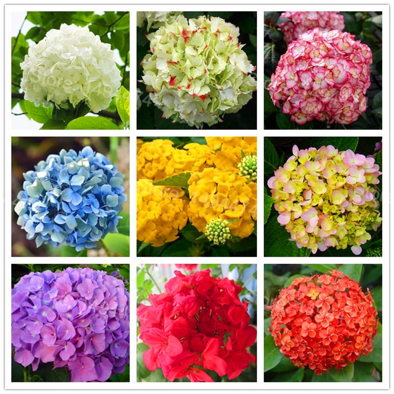 50pcs/bag Hydrangea Flower Plants Mixed Color Bonsai Fort Viburnum Hydrangea Macrophylla Bonsai Plant Plantas For Home Garden