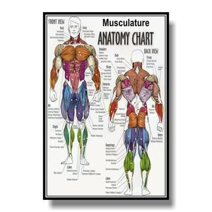 Muscular System Anatomical Poster Muscle Anatomy Chart Anatomical Chart Human Body Educational for Human anatomy posters(China)