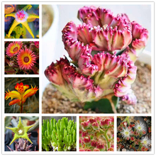 30Pcs Rare Automatic icing Succulent Flower Seeds Bonsai Garden Nature Plants Home Fragrant Colorful cactus Essence Lip Mask G-S