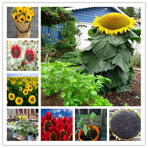 50-pcs-skyscraper-8-feet-tall-sunflower-bonsai-easy-to-grow-annual-giant-novel-blooming-plants-home-garden-bonsai