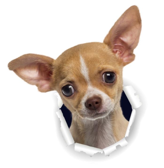 Three Ratels 3D Chihuahuas Dog Stickers Super Staffie decal on Wall Fridge Toilet car bike