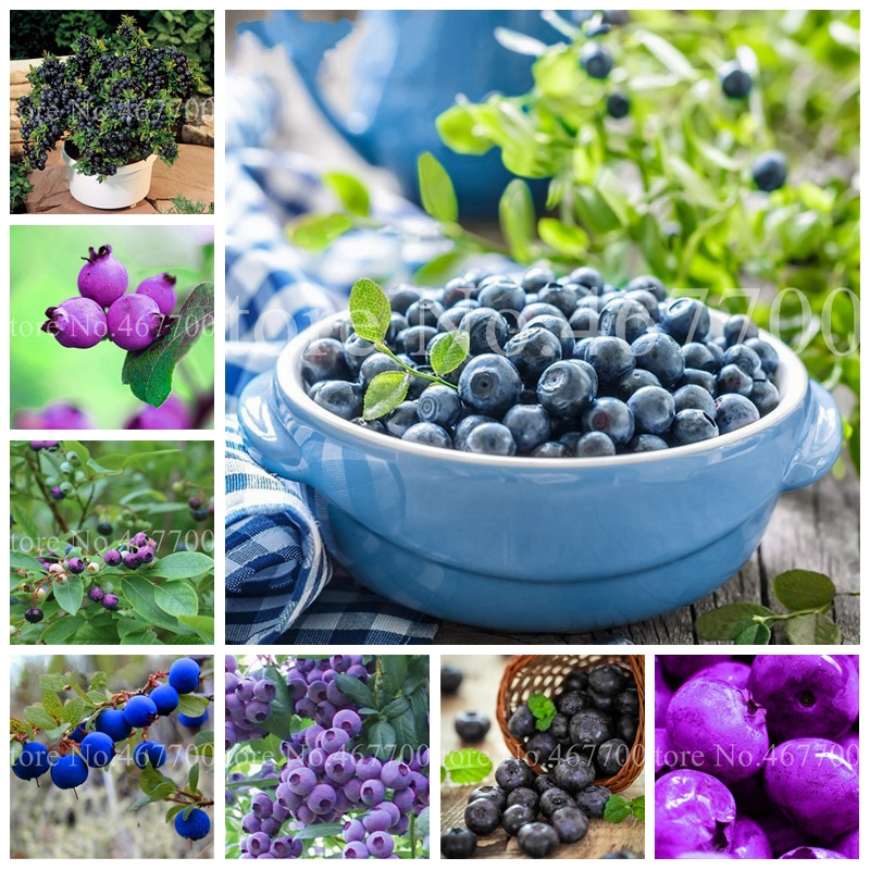 New 100 Pcs Blueberry Bonsai Fruit Outdoor Tree Highbush Blueberries DIY Countyard Plants For Home & Garden Pot Easy To Grow