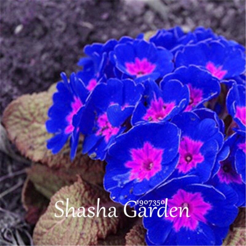 Promotie-200-stks-Teunisbloem-Blauw-Teunisbloem-Exotische-Heirloom-geurige-bloem-DIY-Thuis-Tuin-bloem-hardy-plant (6)