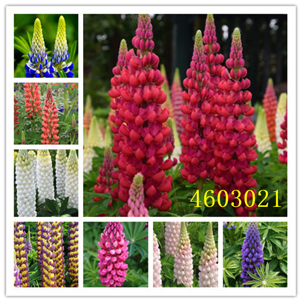 100 Pcs Mixed Russell Luplne Lupinus Polyphyllus Flower Shipping Survival Rates Very High Lupin Bonsai