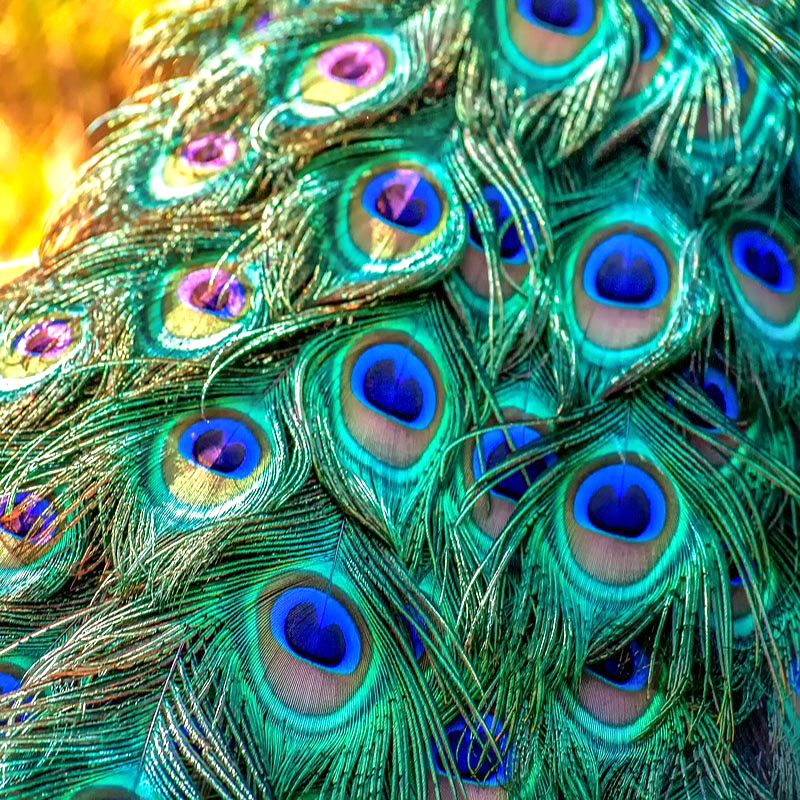Top quality 200 Pcs natural peacock feathers for jewelry making Christmas party wedding Home vase decoration plumas 25 32CM DIY in Feather from Home Garden