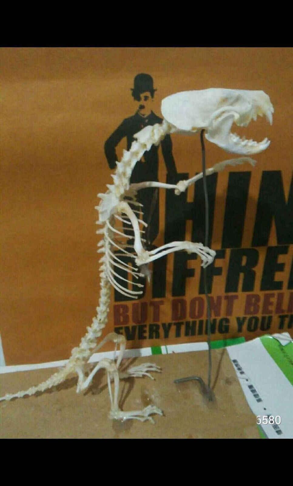 1 adet gerçek vizon kafatası komple hayvan iskeleti örneği