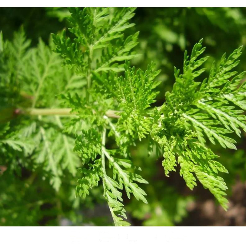 Купить сушеный полынь artemisia annua высокое качество 250 1000 г китайская