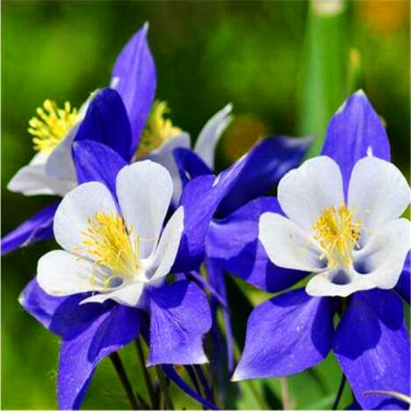 100 Pcs European Columbine Plant- Aquilegia Vulgaris Rare Bonsai Flower Planta For Home Garden Potted Planting