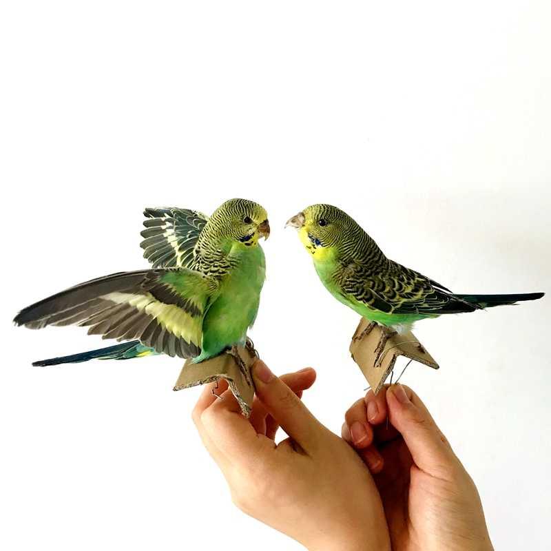 2PCS stuffing Eurasian green colour Melopsittacus undulatus parrot specimens