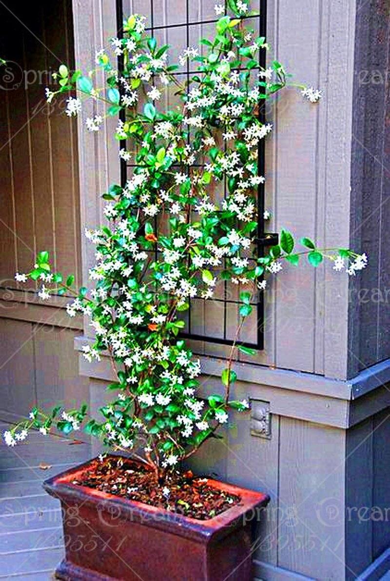 50pcs / Pack Jasmine Bonsai Tree Plant Flower Pot Indoor Bonsai Plant Home Garden Decoration