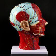 Study-Model Brain-Neck Face-Anatomy Medical Nerve-Blood-Vessel Teaching Median-Section