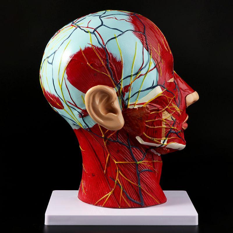 Ofis ve Okul Malzemeleri'ten Tıbbi Bilim'de İnsan anatomik yarım kafa yüz anatomi tıbbi beyin boyun medyan bölüm çalışma modeli sinir kan damarı öğretim için title=