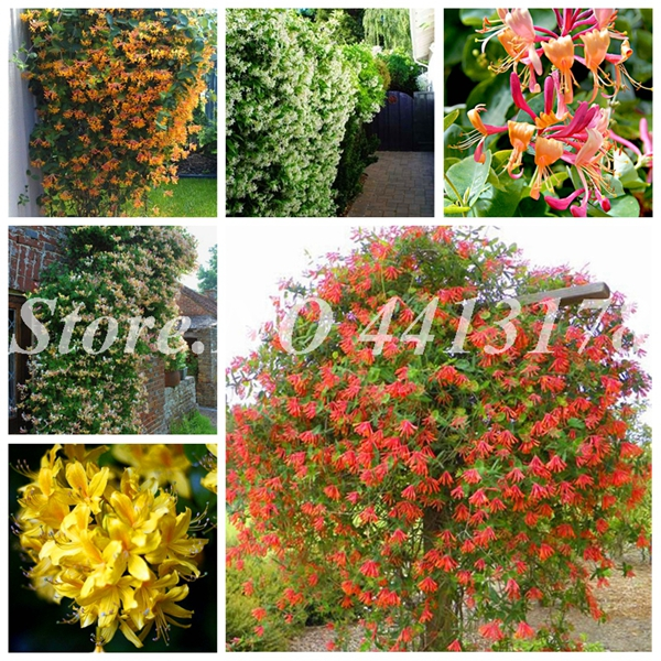 New 2019! 100 Pieces A Lot Honeysuckle Vine Plantas, Naturally Grown, Rare Climbing Flower Plants Bonsai For Home Garden
