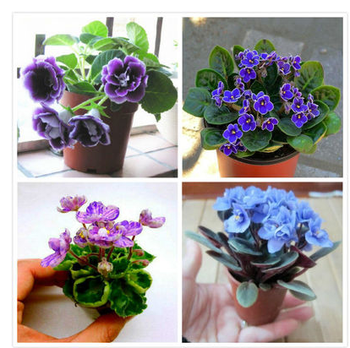 Violet Semi Fiori Balcony Potted Four Seasons Easy Seed Garden Flower Graines A Planter Decor