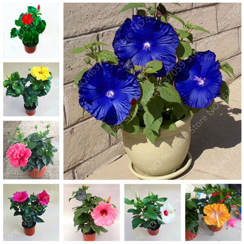 100 Pcs Giant Hibiscus Bonsai Mixed Color Rosa-Sinensis Flower Hibiscus Tree Outdoor Bloom Garden Potted Flower Plant Easy Grow