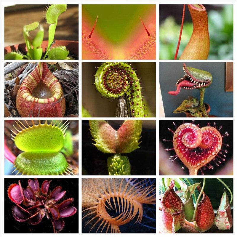Molteplici Nepenthes Pianta Carnivora Bonsai In Vaso Semi Di Dionaea Muscipula Gigante Clip Di Venere Acchiappamosche Pianta Per Il Giardino 100 Pz/lotto