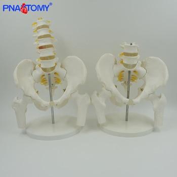 Life size adult vertebra lumbalis and pelvis bone model femur human lumbar vertebra male pelvic anatomy skeleton spine nerves life size human lumbar vertebrae model vertebra lumbalis intervertebral disc anatomy skeleton medical teaching tool pnatomy