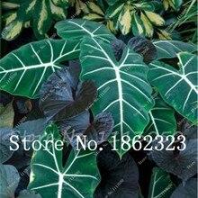 100 шт Горшечное растение тайская коллекция каладия, DIY домашний сад и бонсай растение горшки для балкона декоративное растение