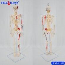 Модель скелета 85 см гибкая для позвоночника рук и ног нервов