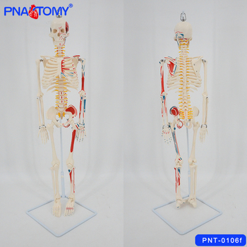 85CM Skeleton model flexible spine arms and legs spinal nerves muscles painted with base medical teaching tool PNATOMY skull 85cm skeleton model with nerves system medical teaching educational equipment skeleton anatomy human spine and skull anatomical