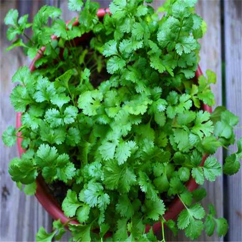 Plant Bath Salts Coriander Vegetables Essence 100Pcs XZZ-56