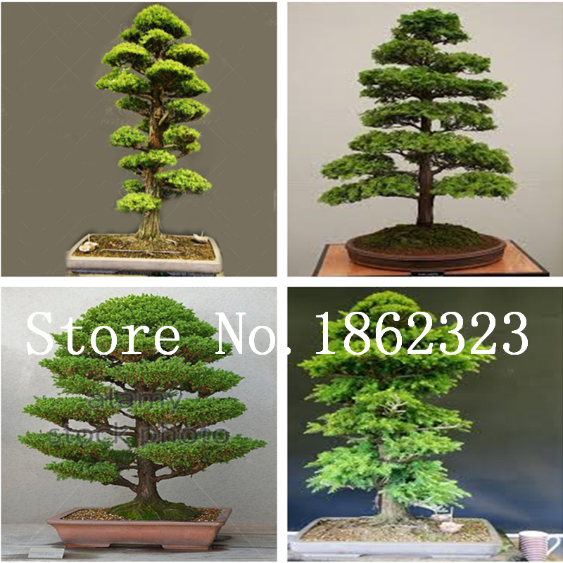 50 Pcs Chinese Rare Evergreen Cedar Tree Bonsai Beautiful Indoor Decoration Natural Perennial Pine Authentic Deodara Tree