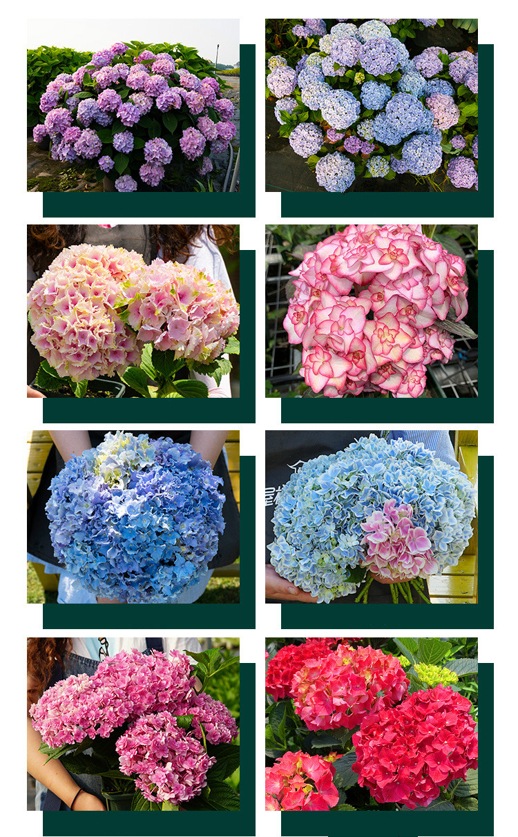 Flower Seeds (pelargonium Flower Seeds) Hydrangea Evergreen Plants Long Flowering Woody Hydrangea Seeds
