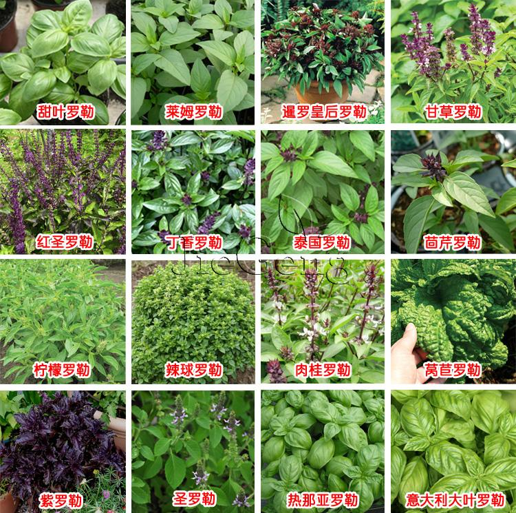 50 pcs Basil ,ocimum basilicum Medicinal and aromatic home garden title=