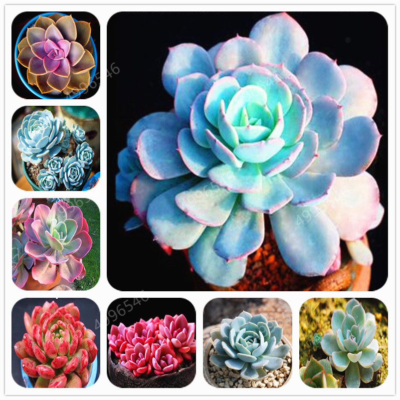 100pcs Succulent Rare Succulent Stone Lotus Bonsai Perennial Herb Plants Echeveria Bonsai Pot Flower Indoor For Garden Flore Pot