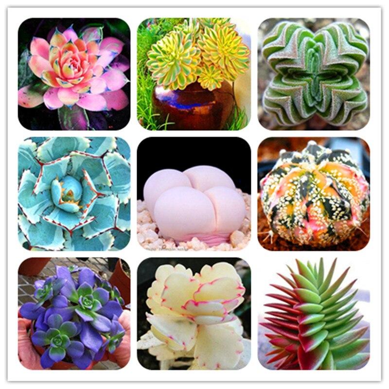100 Pcs Mix Succulent Cactus Lithops Bonsai Living Stones Flower Organic Seedlings Plant Home Garden Perennial Pots Planting