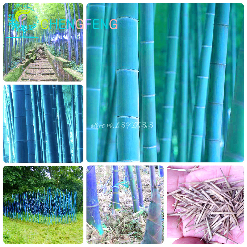 Potted-Plants Bamboo-Seeds Moso Fresh Household-Items Garden Living-Room Giant Diy Home title=