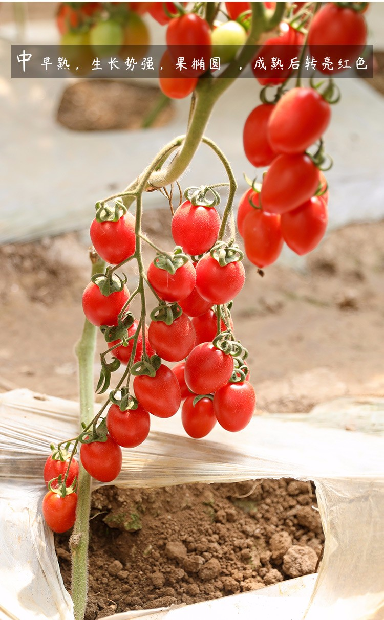 Small Tomatoes Plant Fruits Bath Salts 80Pcs Cherry Tomatoes Essence AN-ZZ10-80