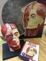 4D Master medical human skull skeleton anatomical model HEAD ANATOMY MODEL dental teeth model