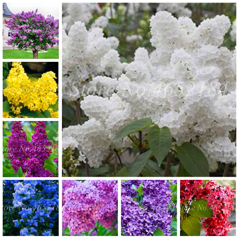 100 Pcs/Bag Bonsai Lilac Bonsai Japanese Lilac (Extremely Fragrant)Clove Flower Bonsai Lilac Trees Outdoor Plant For Home Garden
