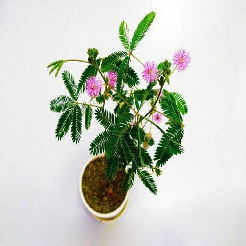 100pcs-1000pcs Hot Sale Flower Plant Seeds Pretty Mimosa Pudica Seeds Sensitive Plant Seeds Mimosa Seeds For Planting