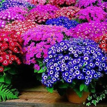 Акция потери! 100 шт./пакет, смешанных цветов цинерария карликовые деревья, комнатные flores, цветок, растение, свадебная брошь, для дома и сада, натуральная кожа